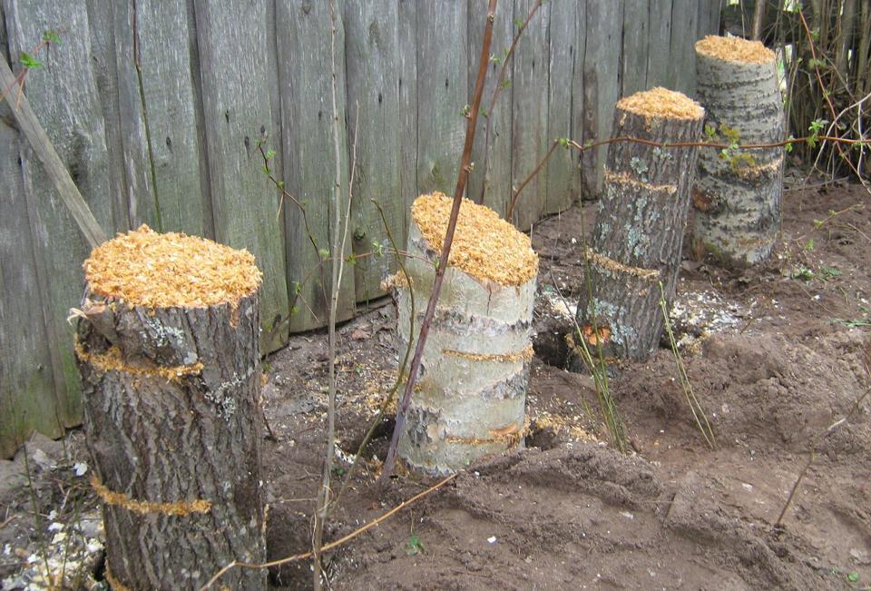 Подготовка пеньков для выращивания вешенок