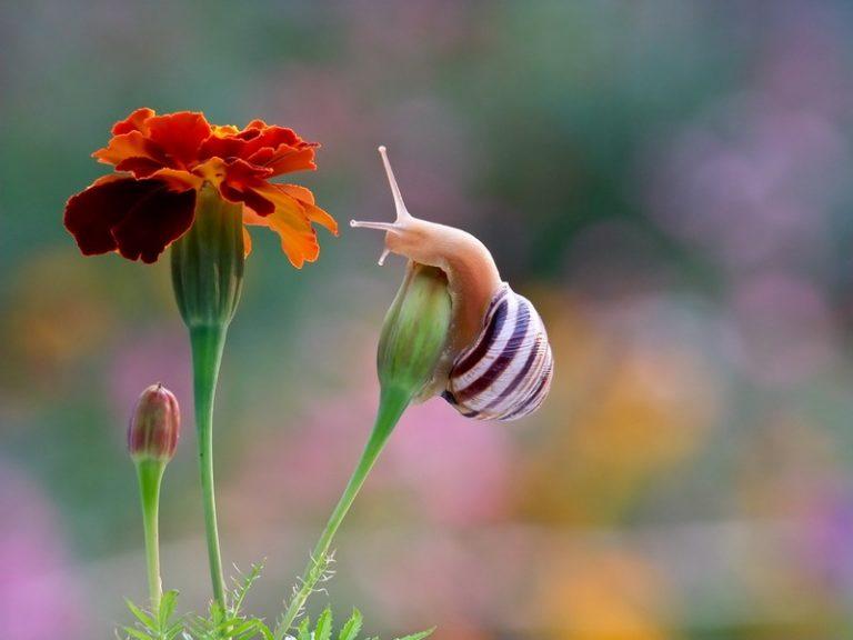как быстро всходят семена бархатцев