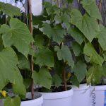 Фото 52: Выращивание огурцов в ведерках из под майонеза