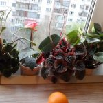 Фото 152: Выращивание пеперомии