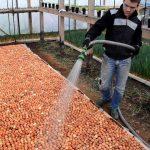 Фото 47: Выращивание опят в теплице