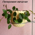 Фото 96: Пеперомия ямчатая ампельная