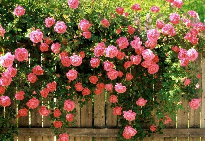 Непроходимая ветвящаяся роза