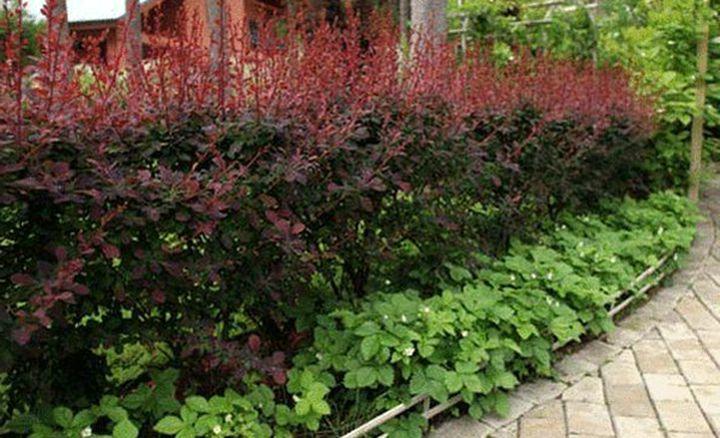Изгородь из барбариса