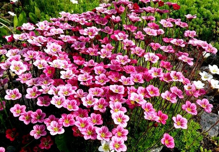 Отличие многолетних и однолетних цветов 2