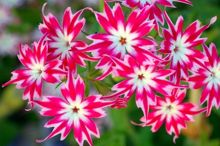Отличие многолетних и однолетних цветов