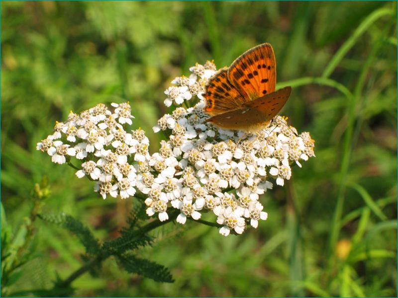Бабочка на тысячелистнике