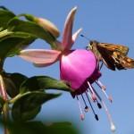 Фото 17: Бабочка на фуксии