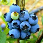Фото 13: Вкусная садовая голубика