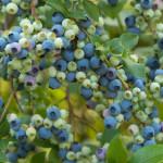 Фото 14: Голубика из семян