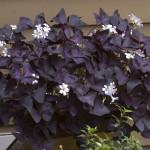Фото 16: Кислица с фиолетовыми листьями