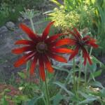 Фото 10: Красная рудбекия