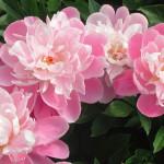 Фото 14: Много розовых пионов