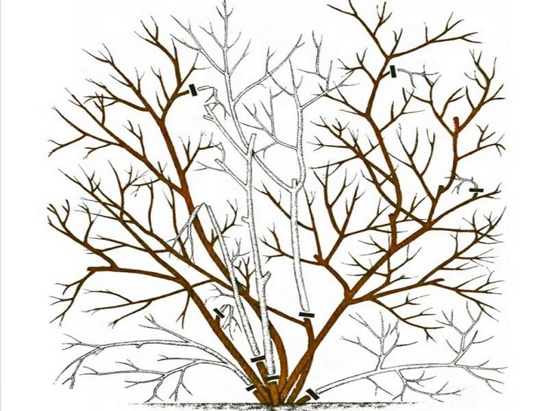 Обрезка садовой голубики