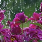 Фото 20: Пионы под дождем