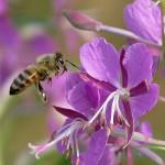 Фото 27: Пчела на цветках Иван-чая