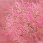 Фото 15: Розовая скумпия