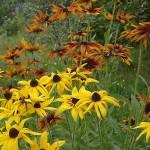 Фото 25: Садовый цветок рудбекия многолетняя