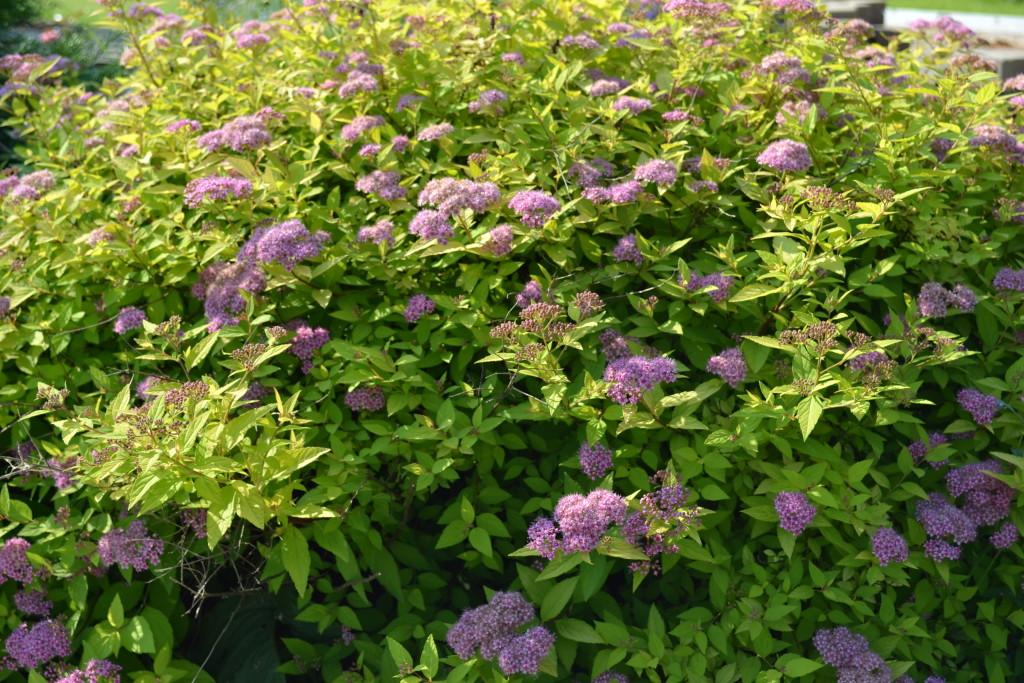Спирея Японская в саду