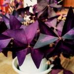 Фото 26: Фиолетовый оксалис