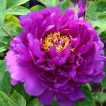 Фото 29: Фиолетовый пион