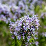 Фото 27: Цветение розмарина