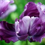Фото 29: Цветок ирис