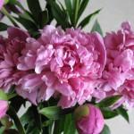 Фото 30: Цветок пион