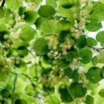 Фото 27: Цвет липы в лесу