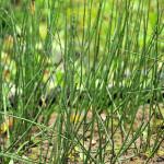 Фото 25: Польза хвоща полевого