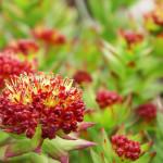 Фото 15: Цветки родиолы розовой