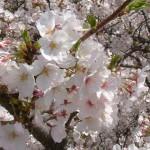 Фото 18: Вишня цветение