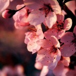 Фото 22: Вишня весной
