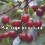 Фото 25: Вишня растогуевская
