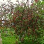 Фото 6: Вишневое дерево