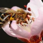 Фото 8: Опыление цветка айвы