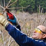 Фото 6: Обрезка вишни