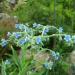 Фото 14: Вид Cynoglossum furcatum