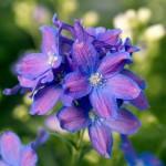 Фото 13: Delphinium Delfix Blue