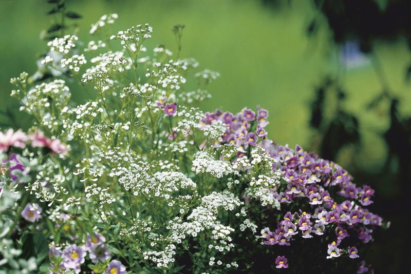 Сочетние гипсофилы в саду с другими растениями