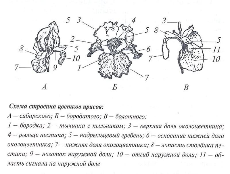 Строение цветка ириса