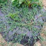 Фото 9: Выращивание спорыша