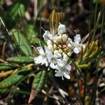 Фото 28: LПоявление цветков багульника