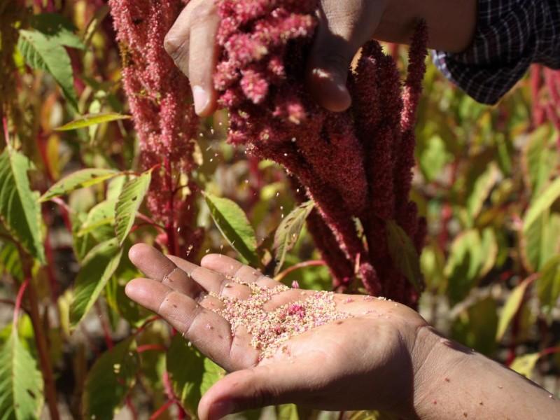 Сбор семян амаранта