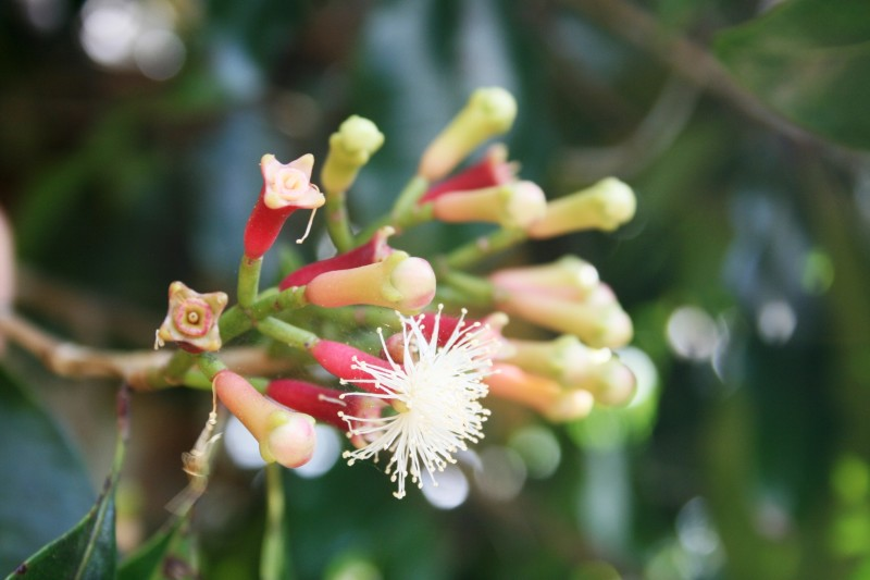 Бутоны и цветение гвоздики