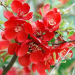 Фото 15: Яркое цветение японской айвы