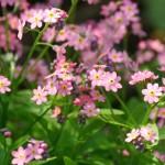 Фото 17: Вид Сynoglossum myst pink