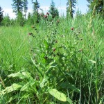 Фото 10: Произрастание чернокорня в лесу