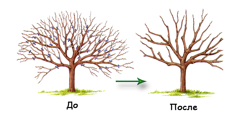 "Дерево абрикоса ""до"" и ""после"" обрезки"