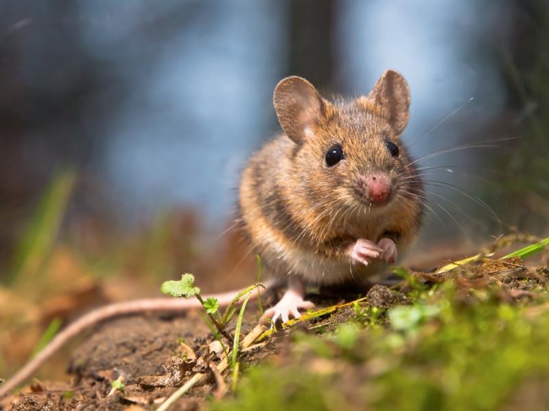 Применение чернокорня от мышей
